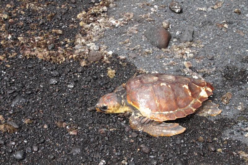 La tortuga 'Timanfaya' regresa a su hábitat natural