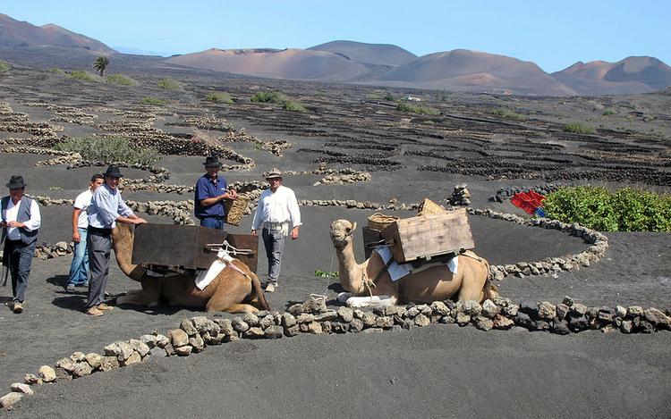 Comienza la vendimia en Lanzarote con la recogida de la Malvasía volcánica
